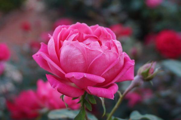 a-rose-1039817_1920