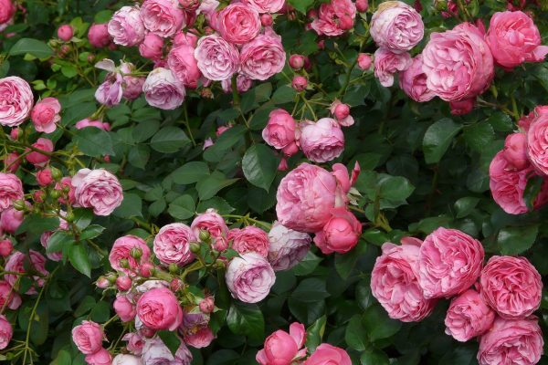 rose-8219_1920